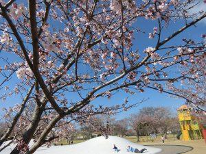 広野町二つ沼公園の桜