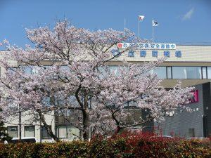 広野町役場前の桜