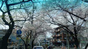 たまプラーザの散りゆく桜