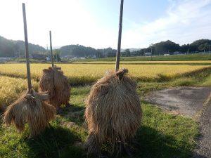 広野町のコメの収穫