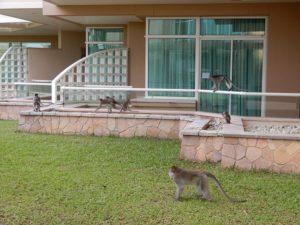 朝ホテル内に猿が出没