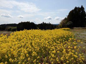 菜の花の群生