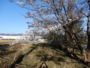広野工場の桜