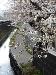 本社近くの桜