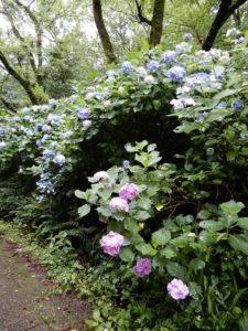 生田緑地のアジサイ