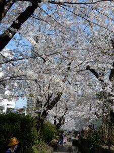 高層ビルを背景に2ケ領用水の桜