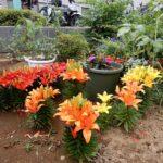 たちばな台病院の百合の花