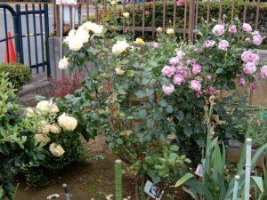 たちばな台病院のバラの花