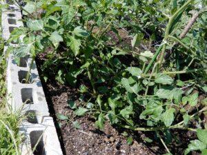 広野工場にミニトマト